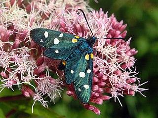 <i>Zygaena ephialtes</i> Species of moth