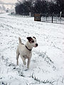 'A Jack Russell Terrier in the snow'. Squaddie in a field near Belvoir Castle - Dec 2005.JPG