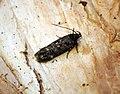 (0779) Bryotropha affinis (28555801475).jpg