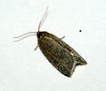 (0989) Timothy Tortrix (Aphelia paleana) (4699116550).jpg