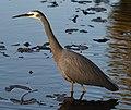 (1)Heron Hunting 113.jpg