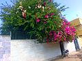 (Bougainvillea) گل کاغذی چابهار 2014-02-05 11-41.jpg