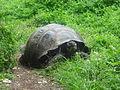 (Chelonoidis nigra) El Chato Reserve, Santa Cruz Galapagos )pic. m.JPG