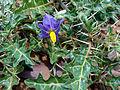 (Solanum surattense) Shrub at Kambalakonda 01.jpg