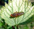 ^Scathophaga sp. - Flickr - gailhampshire.jpg