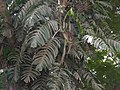 ¿ Epipremnum pinnatum ? (3610597657).jpg