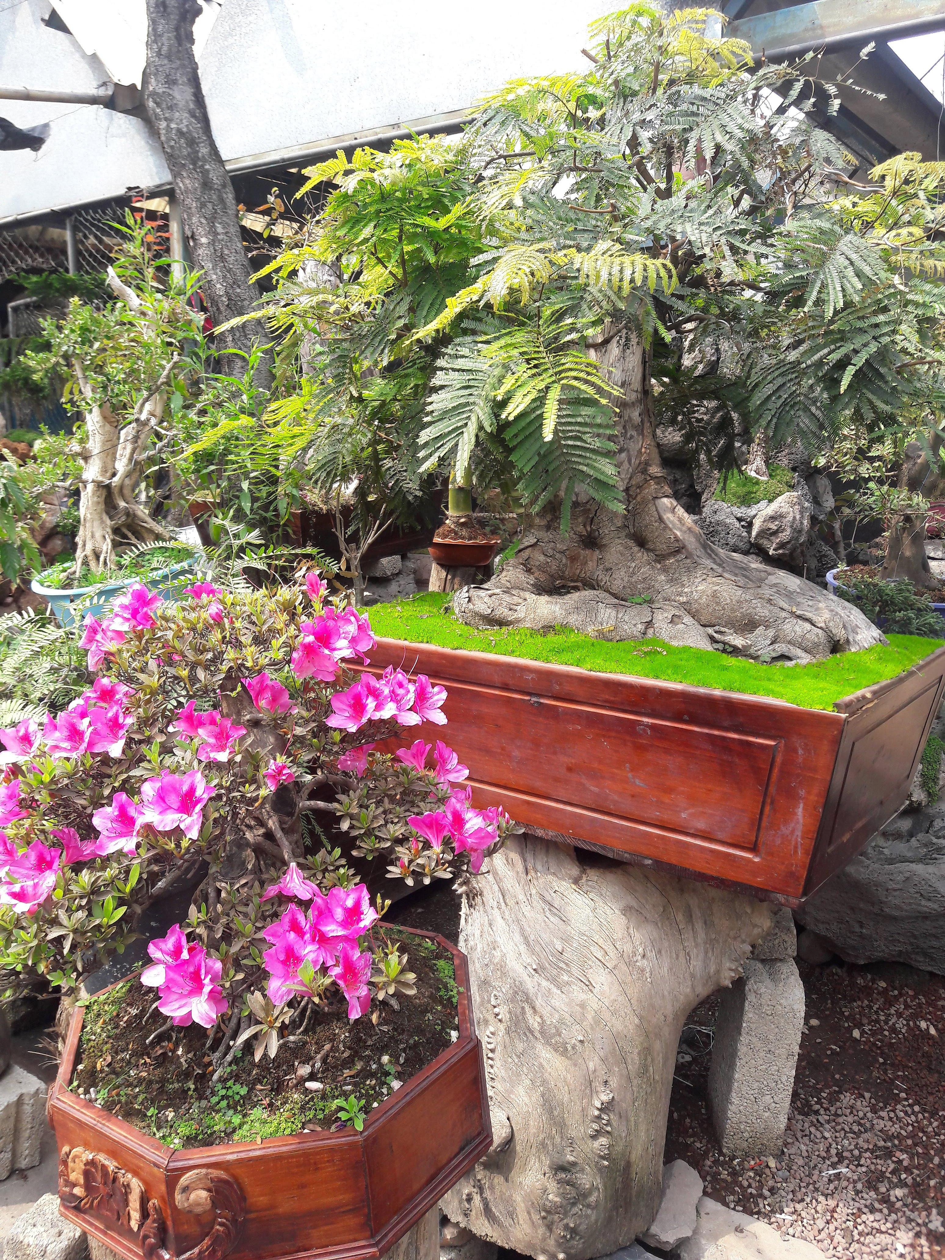 File Arbol Bonsai Y Flores Rosas En El Mercado De Plantas Jpg Wikimedia Commons