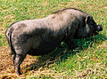 Świnia wietnamska maciora.jpg