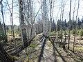 Аллея в Балатовском лесу, середина мая 2013 - panoramio.jpg