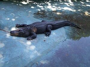 Belgrade Zoo - Muja, world's oldest alligator