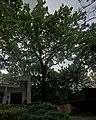 Багатовікове дерево дуба звичайного IMG 3072 stitch.jpg