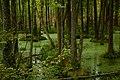 Беловежская пуща. Заболоченный лес.jpg
