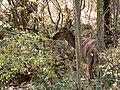 Благородный олень - Cervus elaphus - Red deer - Благороден елен - Rothirsch (29786608201).jpg