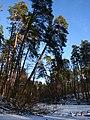 Вековой лес на реке Горенка выше Сапсаева пруда.jpg
