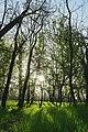 Голопристанський акацієвий ліс.jpg