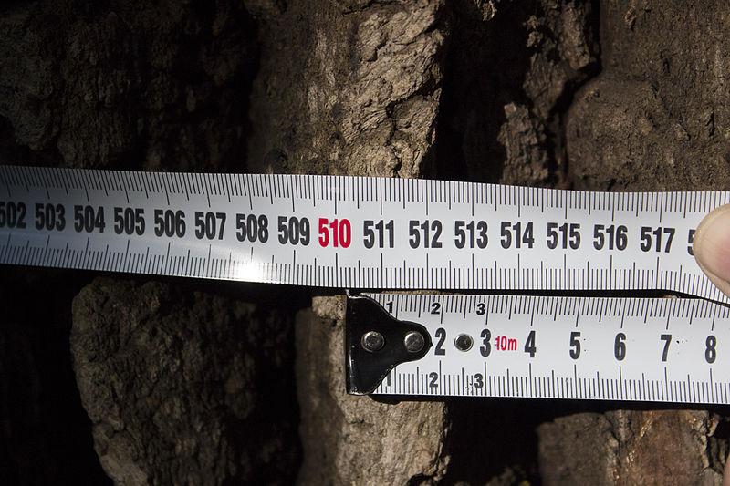 «Дуб Тотлебена», Голосіївський район Києва, територія регіонального ландшафтного парку «Лиса гора». Сарапулов (CC-BY-SA-4.0)