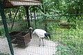 Київський зоопарк Журавель японський IMG 3429.jpg