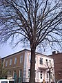 Красень дуб у Вінниці на вулиці Архітектора Артинова.jpg