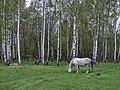 Лошадь в лесу - panoramio - Machmood.jpg