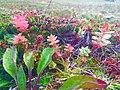 Радиола Розовая растет на Рыбачьем.jpg