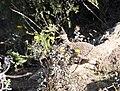 Украшенный степной тинаму (Nothoprocta ornata).jpg