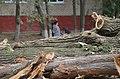 Уничтожение хвойного леса у жилых домов.jpg