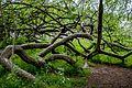 Яблуня-колонія, м.Кролевець, img2.jpg