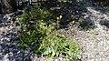 הרבה פרחים צהובים.jpg