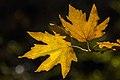 برگ زرد-پاییز-yellow leaves-falling leaves 22.jpg