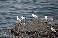 رفتار مرغان دریایی نوروزی یا یاعو در کشور عمان، شهر مسقط، ساحل دریای عمان - عکس مصطفی معراجی 01.jpg