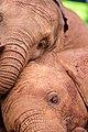 لحظة فيلة صورة توضح لحظة تجانس بين الافيال.jpg