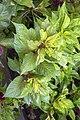 گل تاج خروس-Unidentified Amaranthus in iran 07.jpg