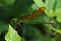 ஓடை மரகதம் - Stream Glory Female - Neurobasis chinensis.jpg