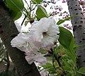 一葉櫻 Cerasus lannesiana 'Hisakura' -上海植物園 Shanghai Botanical Garden- (17057889060).jpg