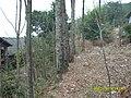 到老家路边的椿树 - panoramio.jpg
