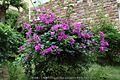 勒杜鹃 ( 三角梅) Bougainvillea Spectabilis Willd - panoramio.jpg