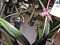 報歲新娘中斑 Cymbidium sinense 'Bride with Line-Art' -香港沙田洋蘭展 Shatin Orchid Show, Hong Kong- (12235105725).jpg