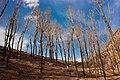 护坡上的人工白杨林——2012-4-5 - panoramio.jpg