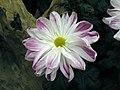 日本一文字菊 Chrysanthemum morifolium Japanese-ribbon-series -台北士林官邸 Taipei, Taiwan- (9255190882).jpg