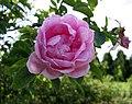 玫瑰 Rosa Fairy Queen -波蘭華沙 Powsin PAN Botanical Garden, Warsaw- (36488238231).jpg