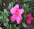 細葉杜鵑 Rhododendron noriakianum -香港青衣公園 Tsing Yi Park, Hong Kong- (16692632000).jpg
