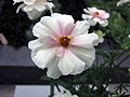 花毛莨 Ranunculus asiaticus Rax Ariadne -荷蘭園藝展 Venlo Floriade, Holland- (9229786378).jpg