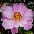 茶花 Camellia japonica - panoramio.jpg