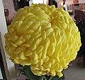 菊花-越山黃厚 Chrysanthemum morifolium -香港圓玄學院 Hong Kong Yuen Yuen Institute- (12084958895).jpg