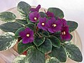 非洲紫羅蘭 Saintpaulia Jolly Jubilee -香港花展 Hong Kong Flower Show- (33775986136).jpg