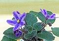 非洲紫羅蘭 Saintpaulia RS Lavender Fairy Tale -香港北區花鳥蟲魚展 North District Flower Show, Hong Kong- (27502996039).jpg