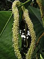 鵲腎樹屬 Streblus elongatus -新加坡植物園 Singapore Botanic Gardens- (9227006339).jpg