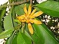 黃蘭 Michelia champaca -香港荔枝角公園 Lai Chi Kok Park, Hong Kong- (9216126584).jpg