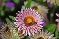 .00 1964 Xerochrysum bracteatum - Garten Strohblume.jpg