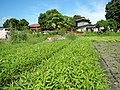 0251jfPanoramics Pulilan Fields Plants Philippinesfvf 21.JPG
